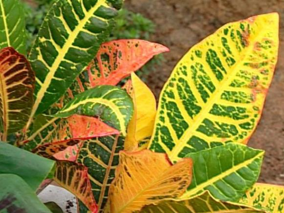 croton is shrub with reddish foliage
