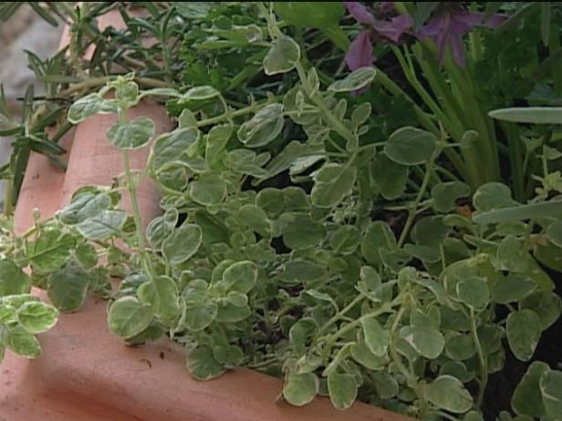 oregano has aromatic, dark green leaves