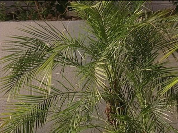 pygmy date palm produces dark purple brown fruit