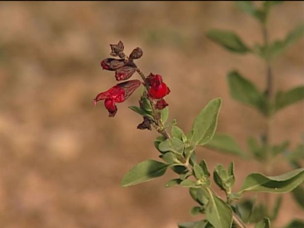 autumn sage has trumpet shaped flowers