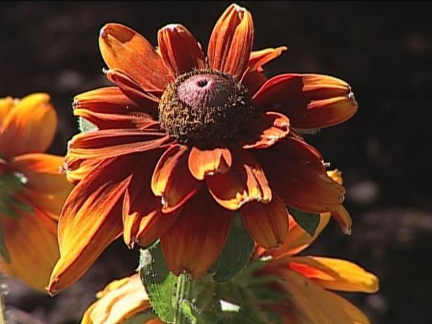 summer light gloriosa daisy has five inch flowers