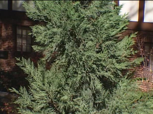 Emerald isle leyland cypress is pyramid conifer