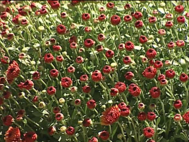 denise garden mum has medium tall bronze petals