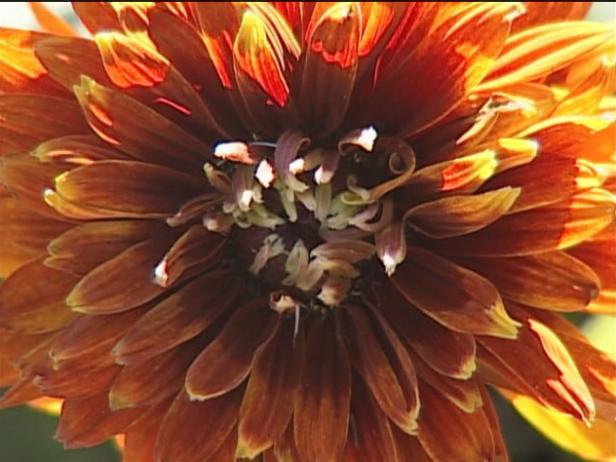 cherokee sunset gloriosa daisy has bronze flowers