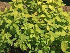 gold mound spirea is noted for golden foliage