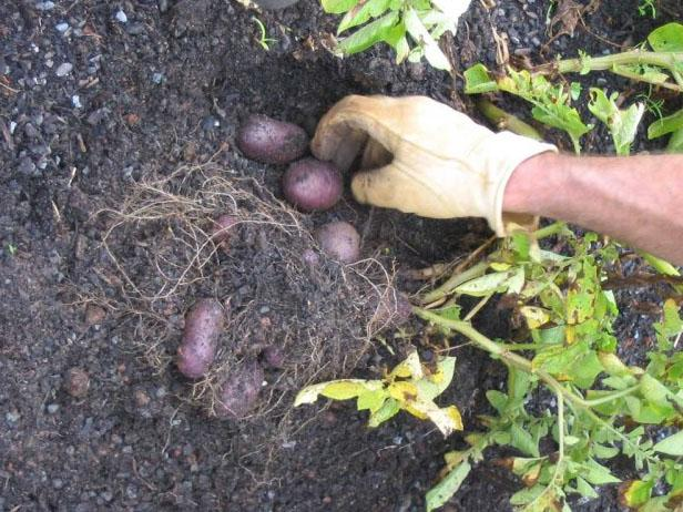 Harvesting Your Potatoes
