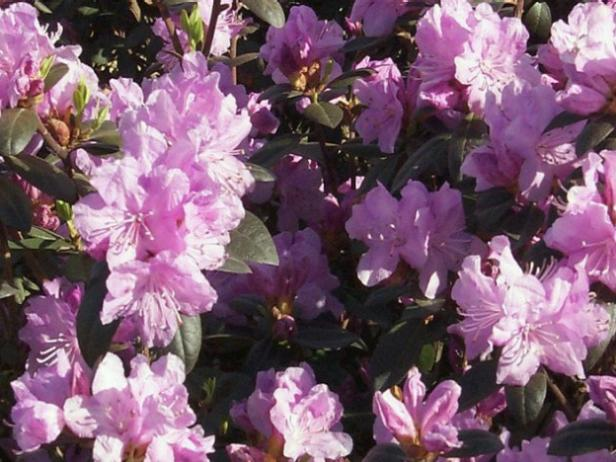 P.J.M. Regal is easiest rhododendrons to grow
