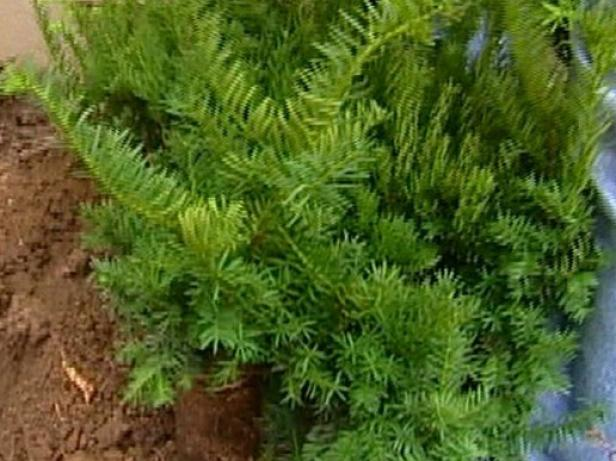 spreading densiformis yew is dwarf evergreen