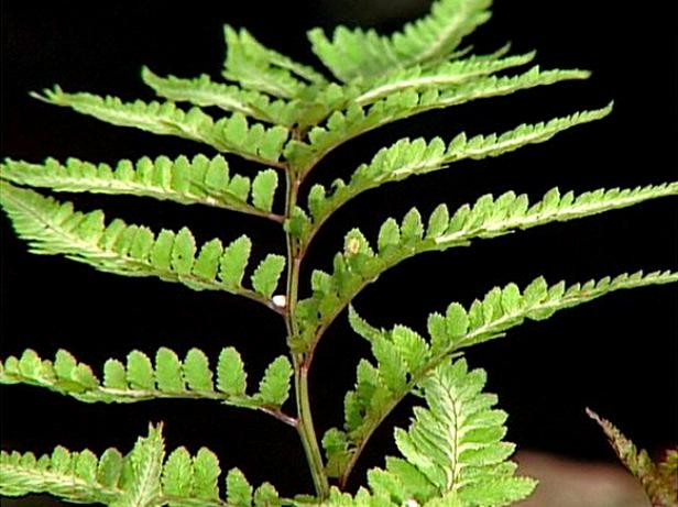 japanese painted fern has silver metallic fronds
