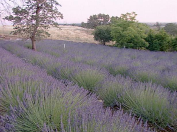Lavender Farm includes 200 varieties of lavender