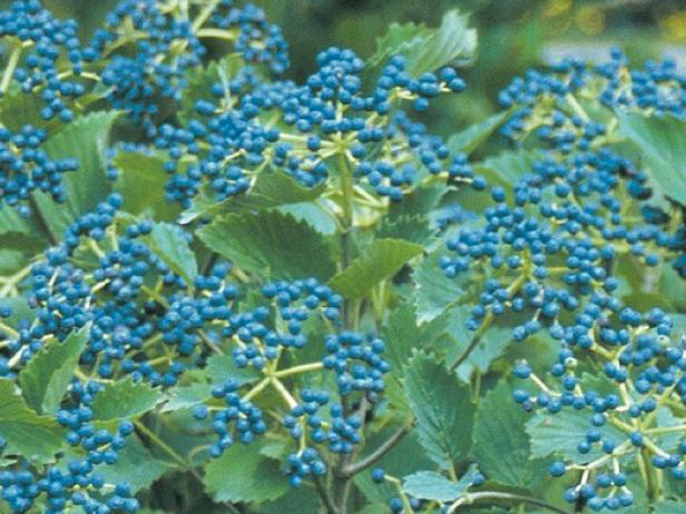 blue muffin viburnum has bright blue berries