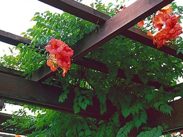 madam galen trumpet vine attracts hummingbirds