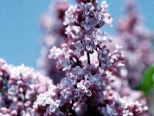 president grevy lilac is grown for fragrant blooms