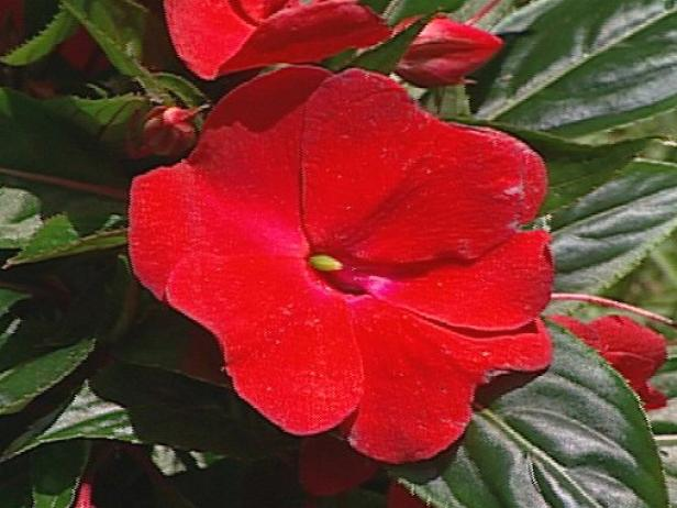 sonic red new guinea impatiens grown for blooms