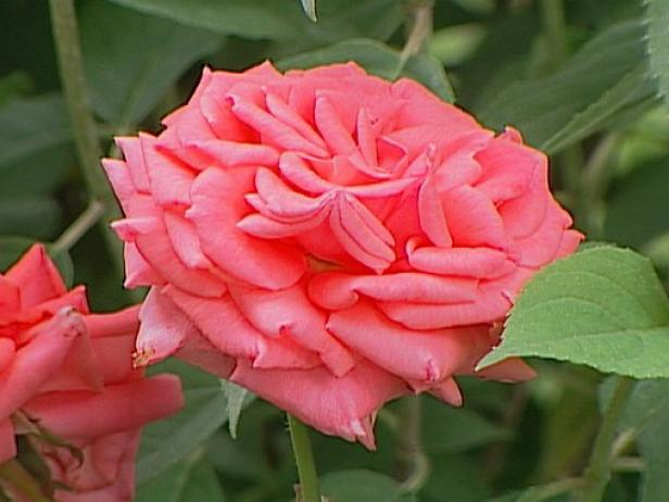 american rose is a strongly scented flower