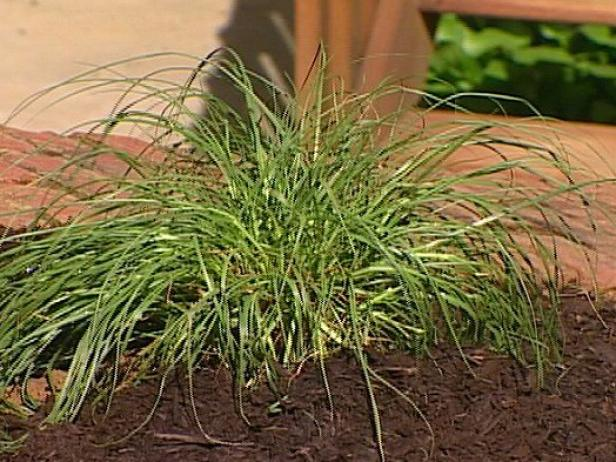 fountain grass should be divided every few years