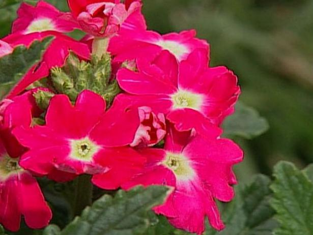 quartz rose verbena attracts butterflies