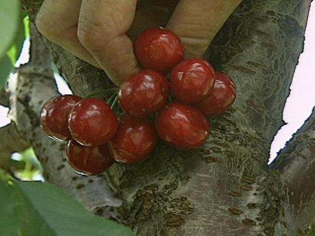 How-to Grow Cherries