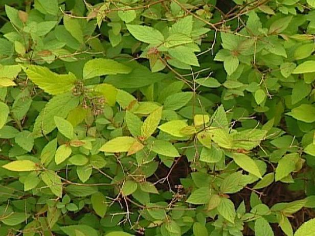 goldflame spirea is noted for blue green foliage