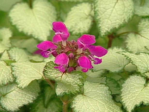 purple dragon spotted deadnettle is deer resistant