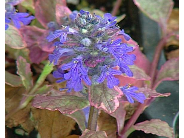 burgandy glow ajuga or bungleweed can be invasive