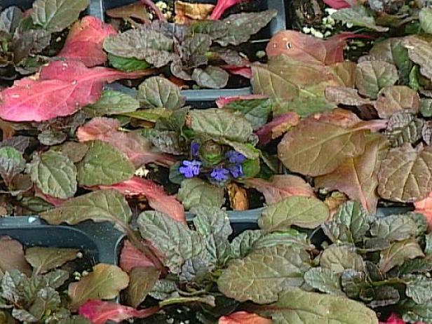 mahogany ajuga,or bugleweed, is a groundcover