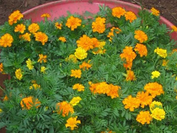 yellow marigolds planted to represent pizza cheese