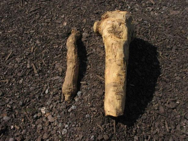 Purchase Your Horseradish Roots