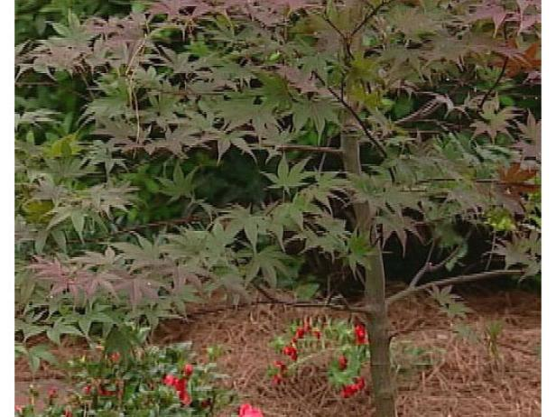 Bloodgood Japanese Maple has reddish purple leaves