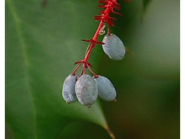 oregon grape has blue black fruit after flowering