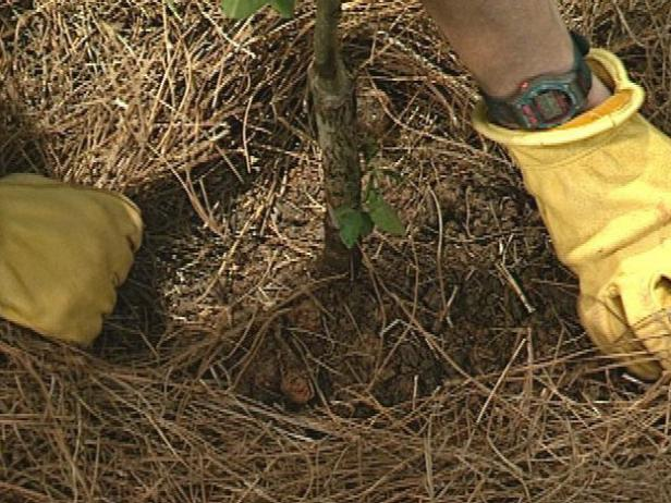 Spread mulch around the base of the tree, then pull it a few inches back from the trunk.