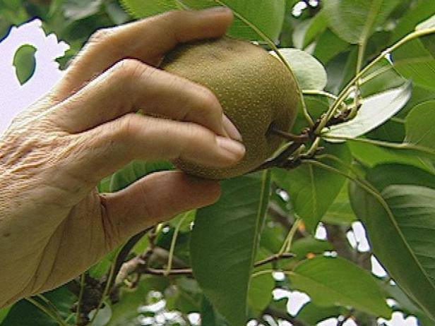 Allow Pears to Ripen Before Picking