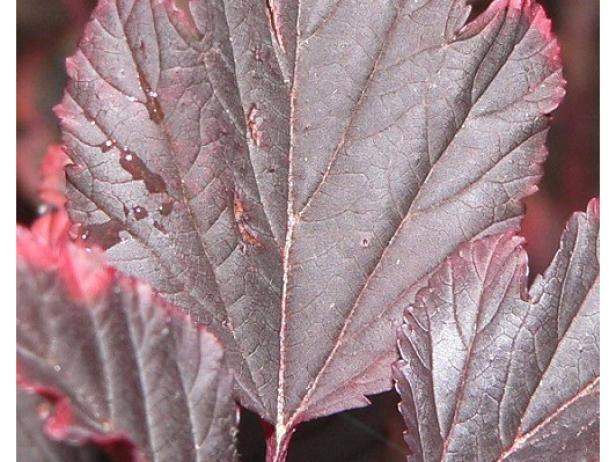 summerwine ninebark has beautiful foliage color