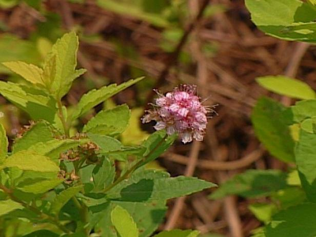 gold mound spiraea is noted for its golden foliage
