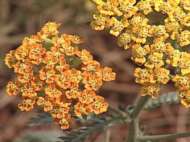 terra cotta yarrow is a spreading perennial