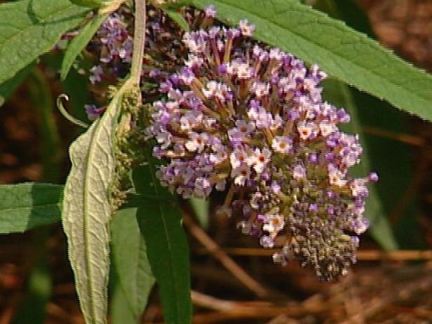 purple emperor butterfly bush is a deciduous shrub