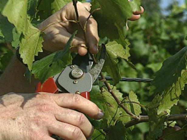 Prune the Vines