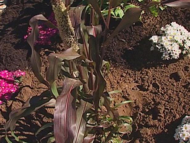 ornamental purple millet is an ornamental grass