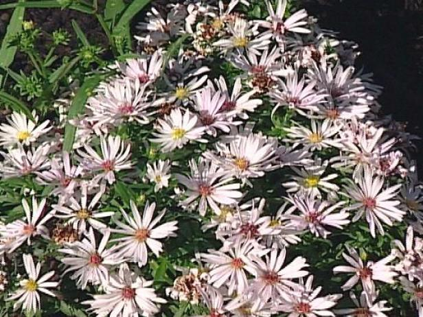 margrethe viking aster has white daisy like blooms