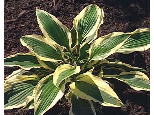 Patriot Hosta is a popular white and green plant