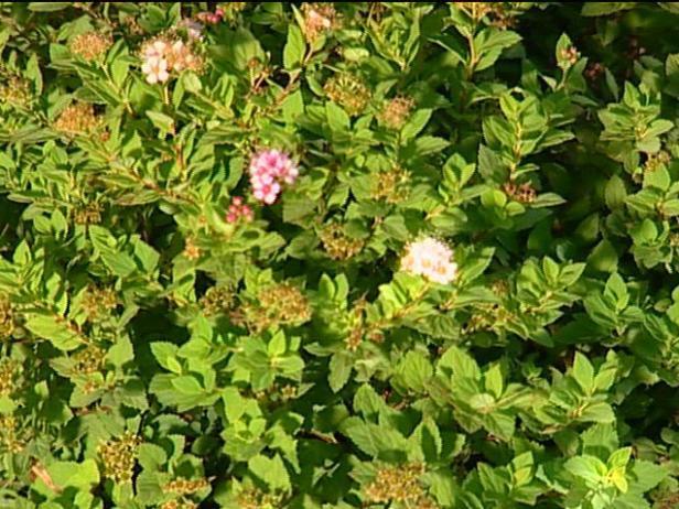 little princess spiraea has rose pink flowers