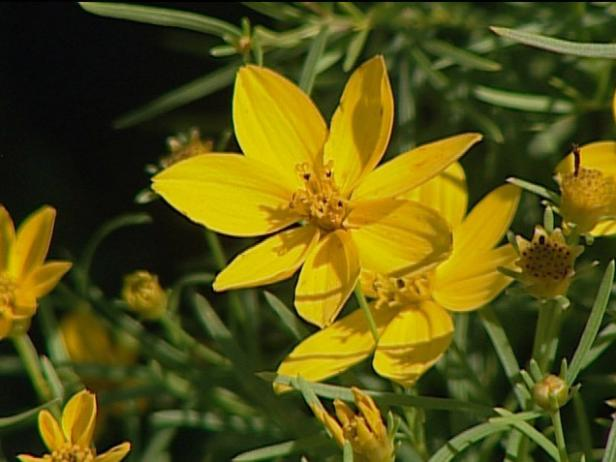 zagreb coreopsis has fern like foliage