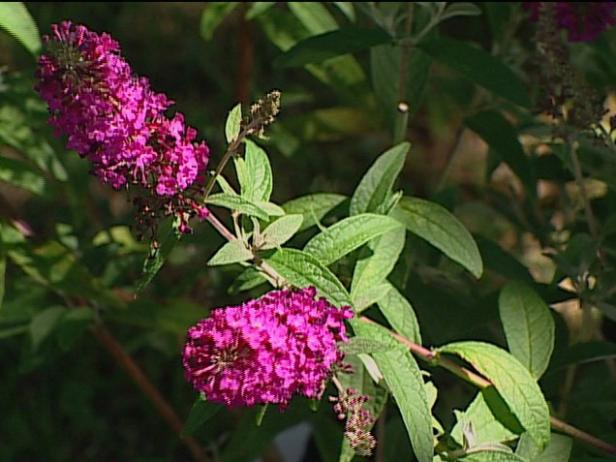 attraction butterfly bush has purple to red blooms