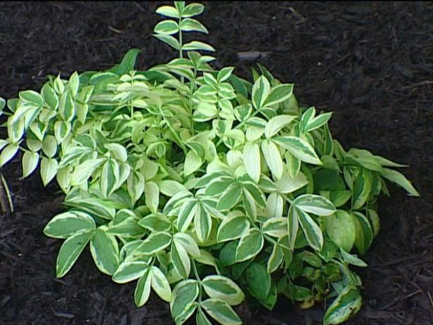 jacob's ladder has variegated foliage