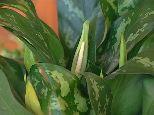chinese evergreen is tropical plant grown indoor