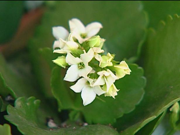kalanchoe is grown for profuse tiny flowers