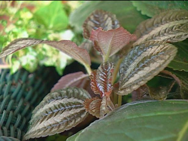 waffle plant is grown for fleshy copper leaves