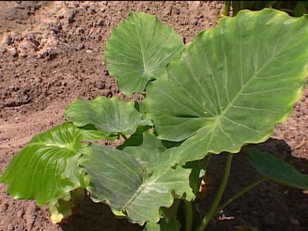 dwarf elephant ears have upright fanlike foilage