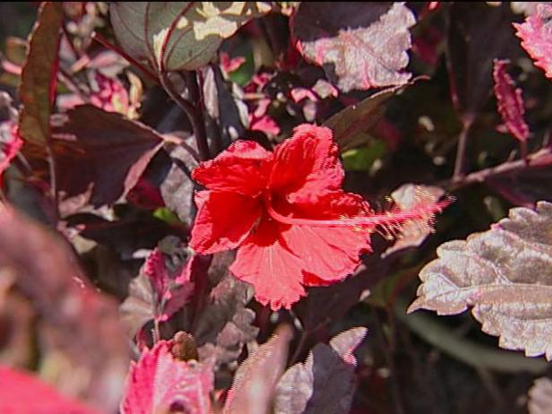 red hot hibiscus has large brilliant red flowers