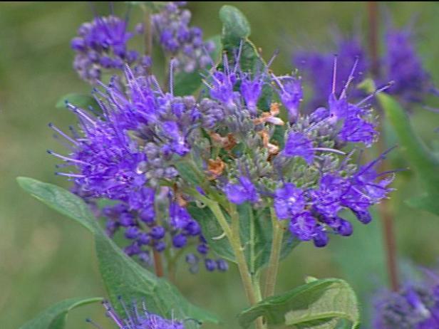 grand bleu caryopteris is low growing shrub